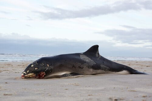 Balinalar Öldükten Sonra Neden Patlar?