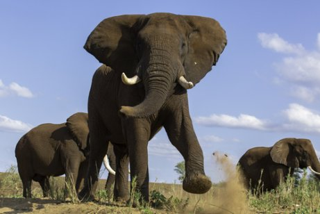 kızgınlık dönemindeki fil
