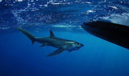 sapan köpekbalığı