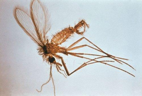 sivrisinek yakın görüntü