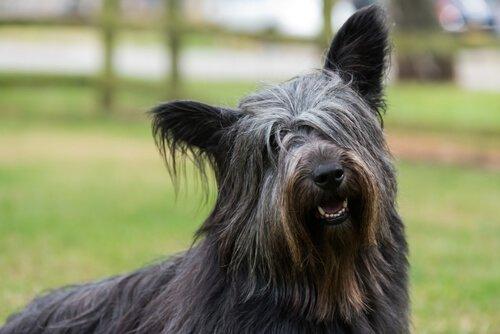 iskoç köpek ırkı skye terrier