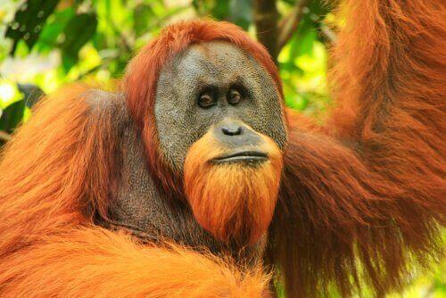 Sumatra Orangutanı: Fiziksel Özellikleri