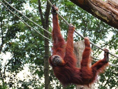 dallara asılı duran sumatra orangutanı