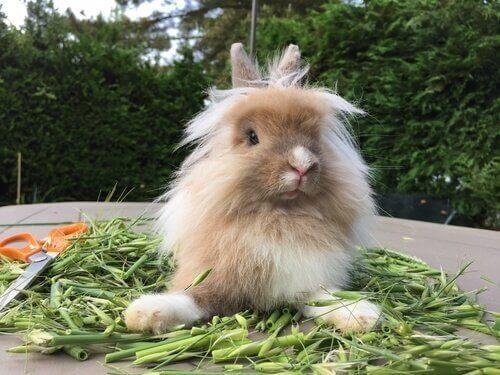aslanbaş tavşanı
