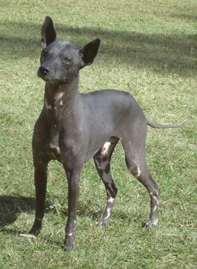 pila köpeği