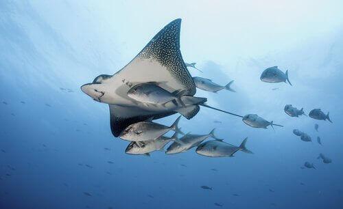 Vatoz Balığı Türleri ve Özellikleri