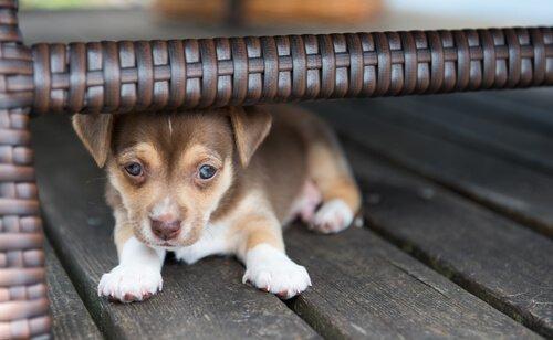 sandalyenin altına saklanmış yavru köpek