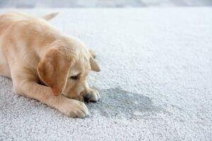 3 Farklı Köpek Tuvalet Eğitim Pedi