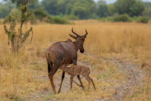 Afrika Antiloplarının kürk renkleri ile yaşama alanı uyum gösterir.