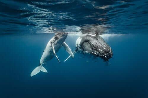 göç eden iki balina