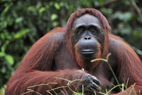 Borneo Orangutanı için Koruma Stratejileri