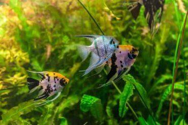Akvaryumda Ortalama Balık Ömrü Ne Kadar?