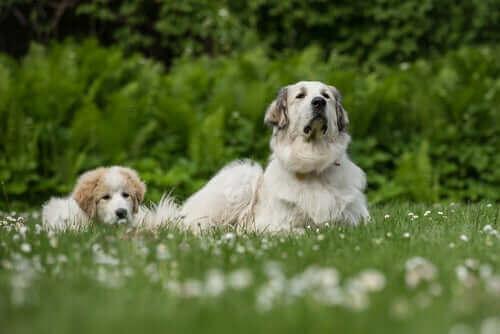köpekler aile üyelerini tanır