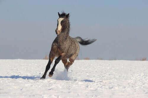 Başkır atları eğitim konusunda da çok hevesli ve çok uyumlu.