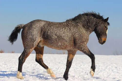 Başkır atının tüyleri onu soğuklara karşı koruyor.