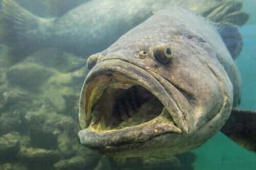 Ağzı açık dev balık türü
