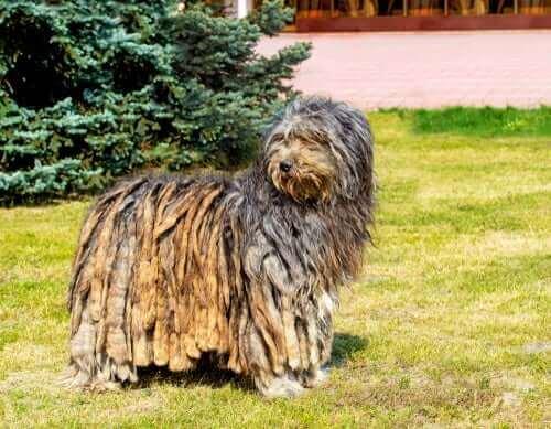 Bergamasco Çoban Köpeği: Kökeni Ve Özellikleri