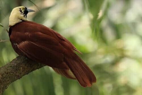 kahverengi cennet kuşu