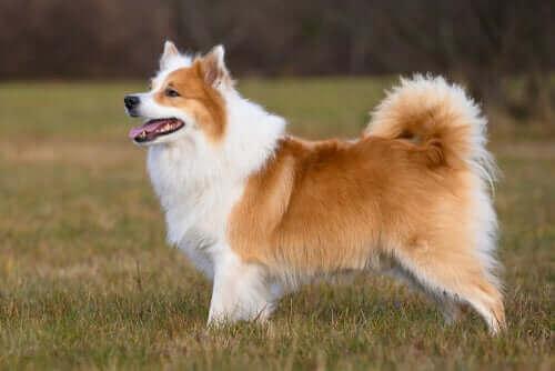 İzlanda Çoban Köpeği Ve Özellikleri