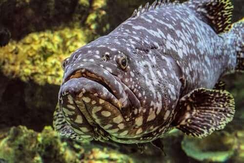 Atlantik Golyat Orfozu: Yaşam Alanı Ve Özellikleri