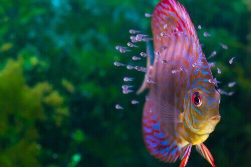 Akvaryumunuz için Diskus balığı