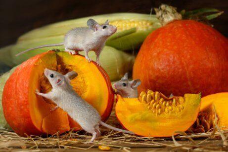 Bal kabağı yiyen fareler ve kemirgenler ne yer