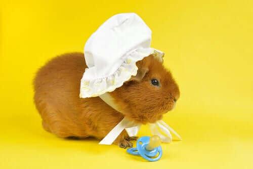 Guinea Pig Nasıl Evcilleştirilir: Bazı Tüyo ve Öneriler