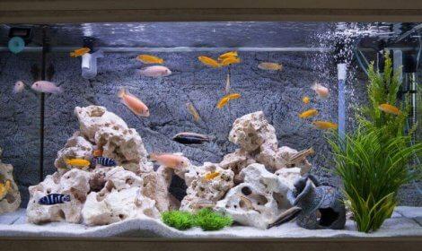Akvaryumda iyi bakıldığında, balıklar daha uzun yaşayabiliyorlar.