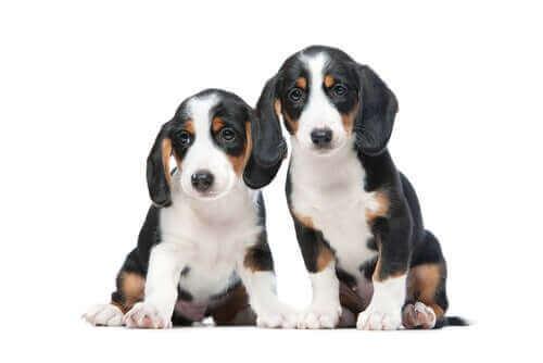 Westphalische Dachsbracke ırkı mensupları oldukça faydalı ve küçük köpekler