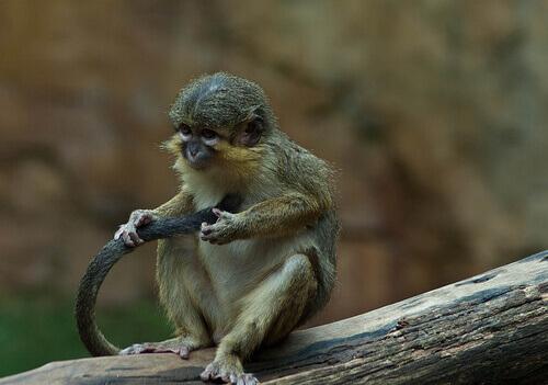 kuyruğunu tutmuş maymun