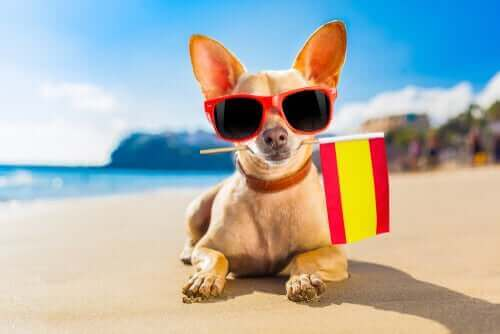 İspanya bayrağı tutan köpek