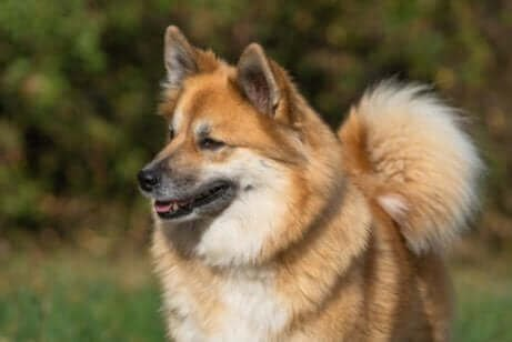 kahverengi tüylü çoban köpeği