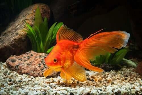 Japon Balığı: Büyük Akvaryum Gerekir mi?