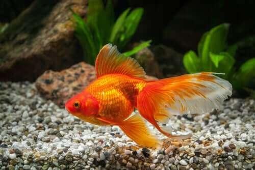 akvaryumda japon balığı