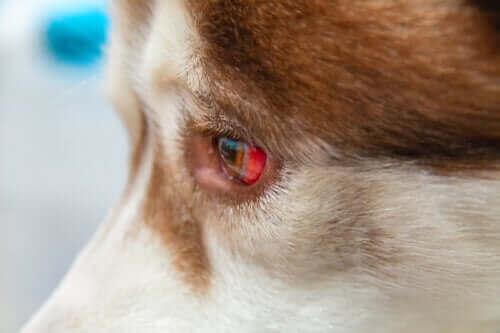 Köpeklerde Göz Akıntısı Ve Tedavi Yöntemleri