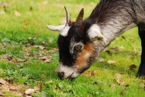 otlanan keçi
