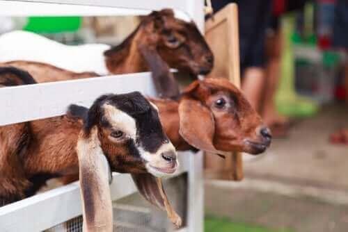 keçi yavruları bakıyor