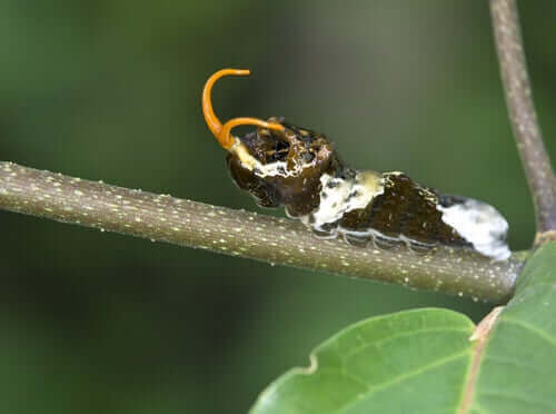 kırlangıç kuyruk larvası