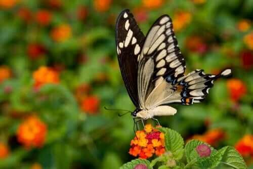 Kırlangıç Kuyruk: En Büyük ve En Egzotik Kelebek