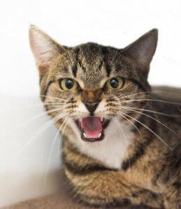 miyavlayan kedi miyavlama sesi