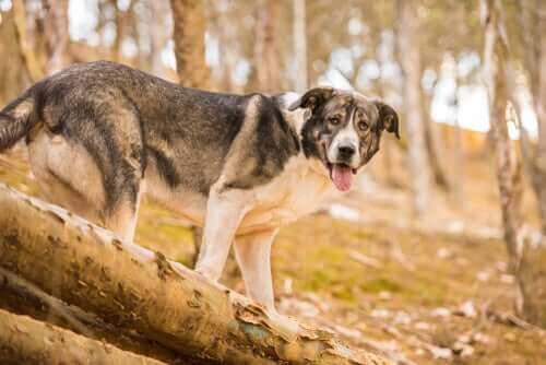 nesli tükenmiş köpek ırkı
