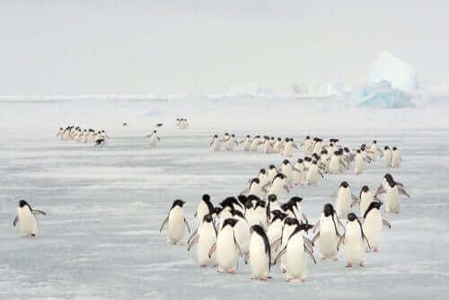 yürüyen penguenler