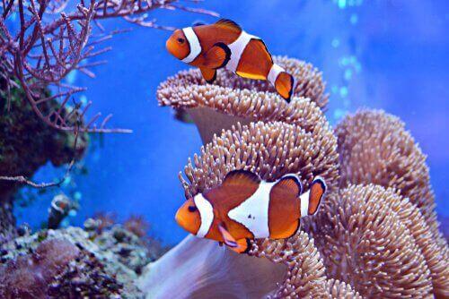 Kayıp Balık Nemo ile ünlenen Palyaço Balığı
