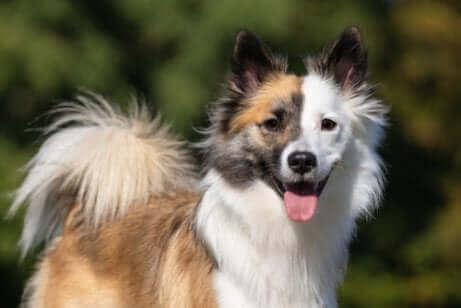 renkli çoban köpeği