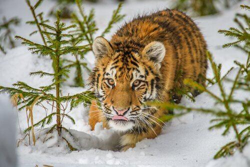 sibirya kaplanı kaplan kar