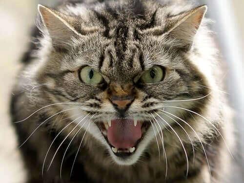 Kedilerde Davranış Problemi: Saldırganlık Türleri