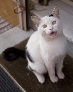 siyah beyaz ağzı açık kedi