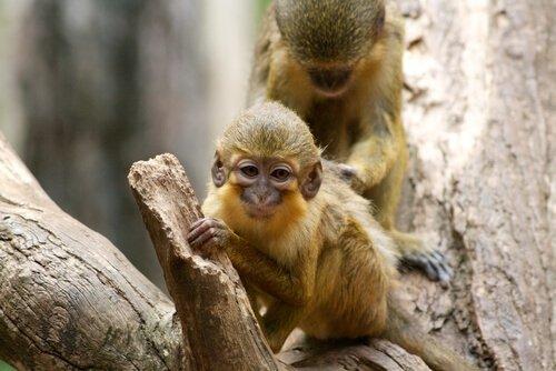 Talapoin maymunları
