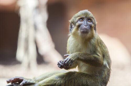 Talapoin Maymunları: Özellikleri, Davranışları ve Yaşam Alanları