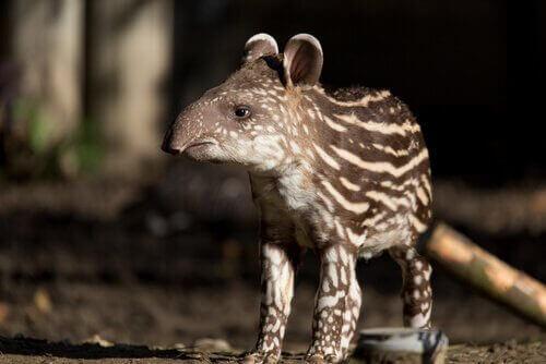 annesini arayan tapir